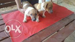 Jack Russell puppies top