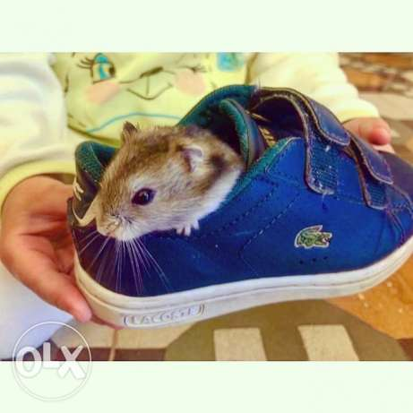 Baby hamster. Very friendly and funny