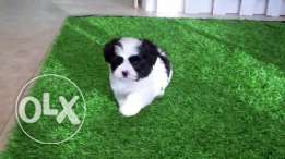 Teddybear Puppies (ShihTzu - Maltese ) male and female 2 month old