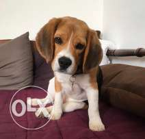 Trained Beagle for sale / 6 month old