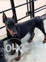 Male doberman top breed
