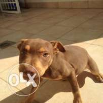 pure red nose pitbull ,, 3 colors