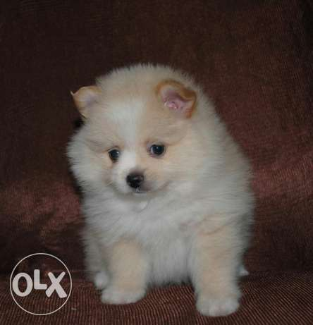 Imported Pomeranian Spitz + Offer in description