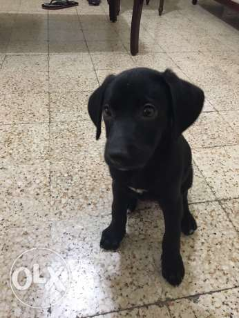 labrador for sale سن الفيل -  4