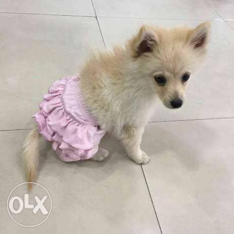 female pomeranian loulou بشامون -  2