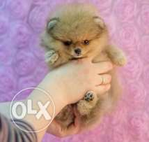 teacup pomeranian 400g for only (700$)