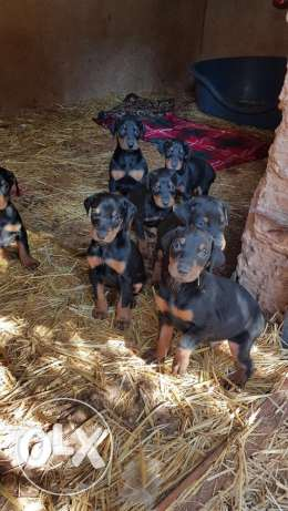pedigree and pure Doberman for sale!!