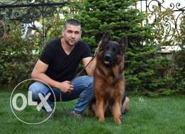 TOP longhaired champion German shepherd for breeding in lebanon