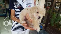 Bichon puppies