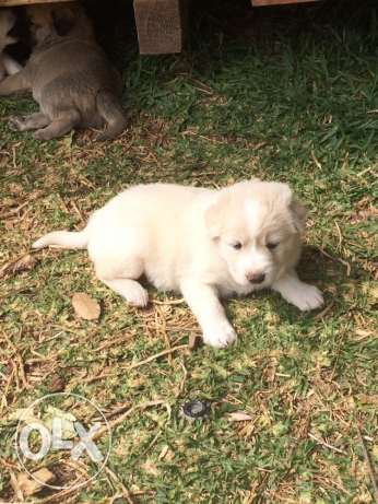 Caucasian dogs(male,female),- 1 month