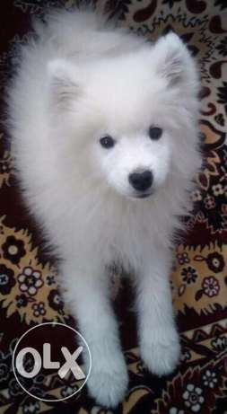 samoyed for only 700$
