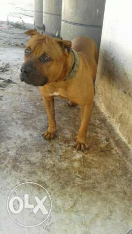 Pitbull ( boyka) very strong dog خلدة -  3