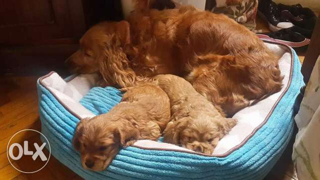 imported cocker puppies for sale