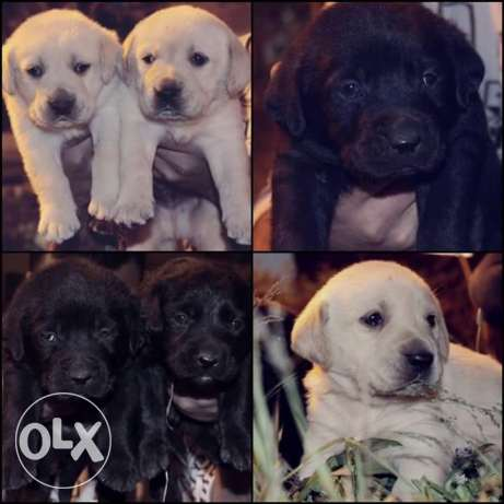 Best imported labradore puppies for sale