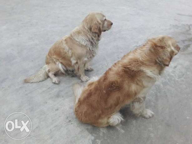 Pure Golden retriever male and female for sale, 400$ both