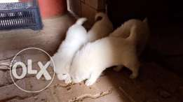 white swiss shephered puppies for sale