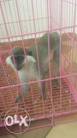 Monkey for sale (6 month)