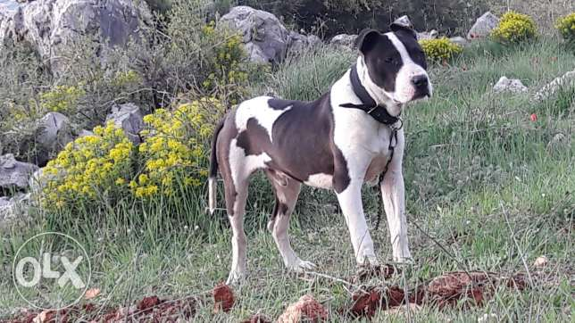 male pitbull for sale or exchange