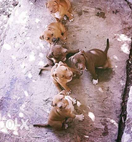 Pitbull puppies red nose only males available جبيل -  1