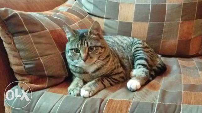 Toyger male