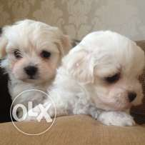 bichonBichon male and female available. Vaccinated and dewormed
