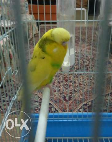 Yellow english male budgie
