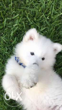 Samoyed puppy , 2 month old with all accessories