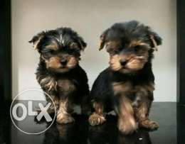 Puppies Yorkshire