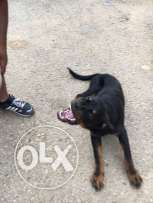 Rottweiler, medium size , male , trained .