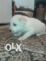 White puppy for sale