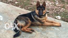 i need a female like this type of gsd short hair