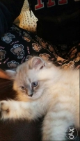 Himalayan Cat for sale