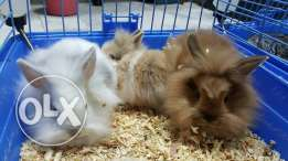 Dwarf and lion head rabbits