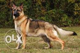 German Shepherd needed