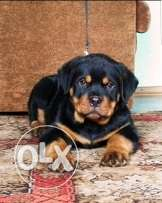imported rottweiler