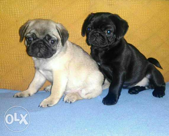 Pug puppies for sale