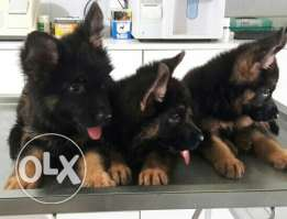German Shepherd puppy for sale champion blood line