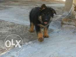 best gift for christmas gsd female best quality