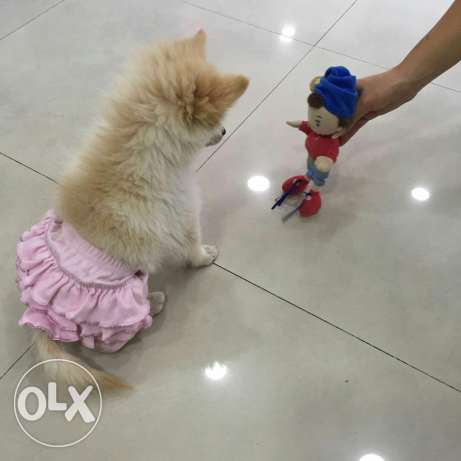 female pomeranian loulou بشامون -  7