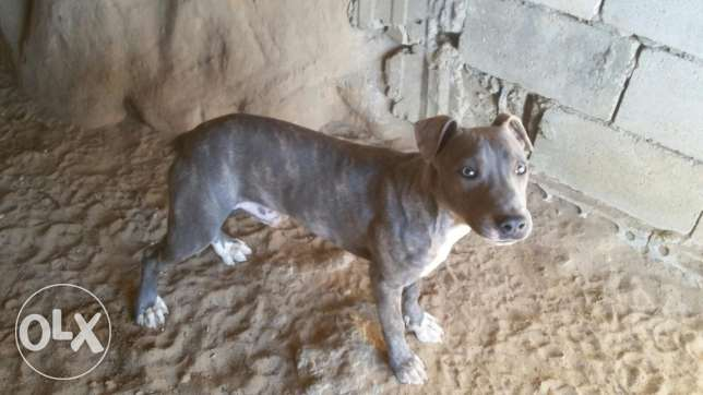 pitbull blue tigree جبيل -  4