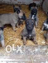 Imported Malinois puppies