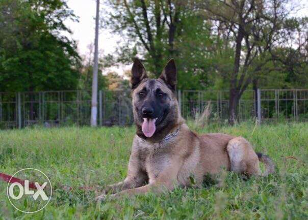 Malinois from World champions Bloodline !!!