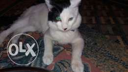 Turkish Van cat for sale