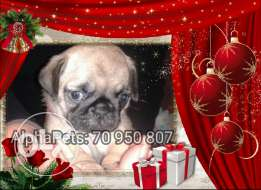 Imported Pug puppy
