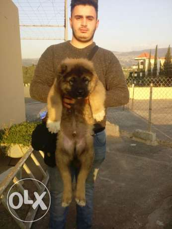 Kavkaz for sale