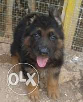 Berger allemand for sale