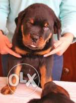 Giant Size Rottweiler Puppies