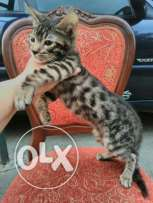 Bengal kitten with pedigree