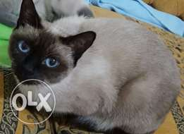 Siamese Female Cat - 80$