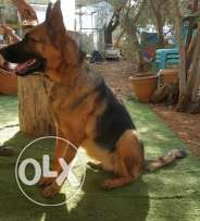 Top female gsd high quality short hair 1.8 years soon will be in heat